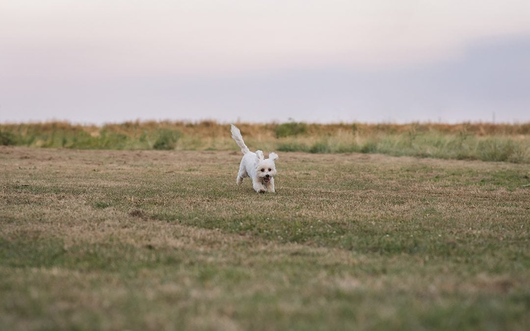 Dog Photography Essex of Maltese Cross, Max at Coalhouse Fort, Tilbury