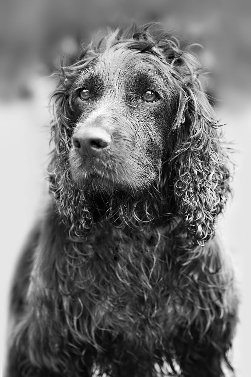 Black and white photo of cocker spaniel by Essex Dog Photographer