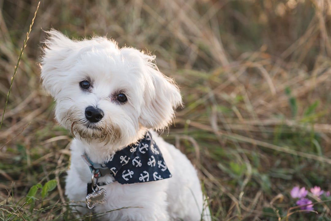 Maltese Puppy Does Cute Head Tilt In Essex Pet Photography Session