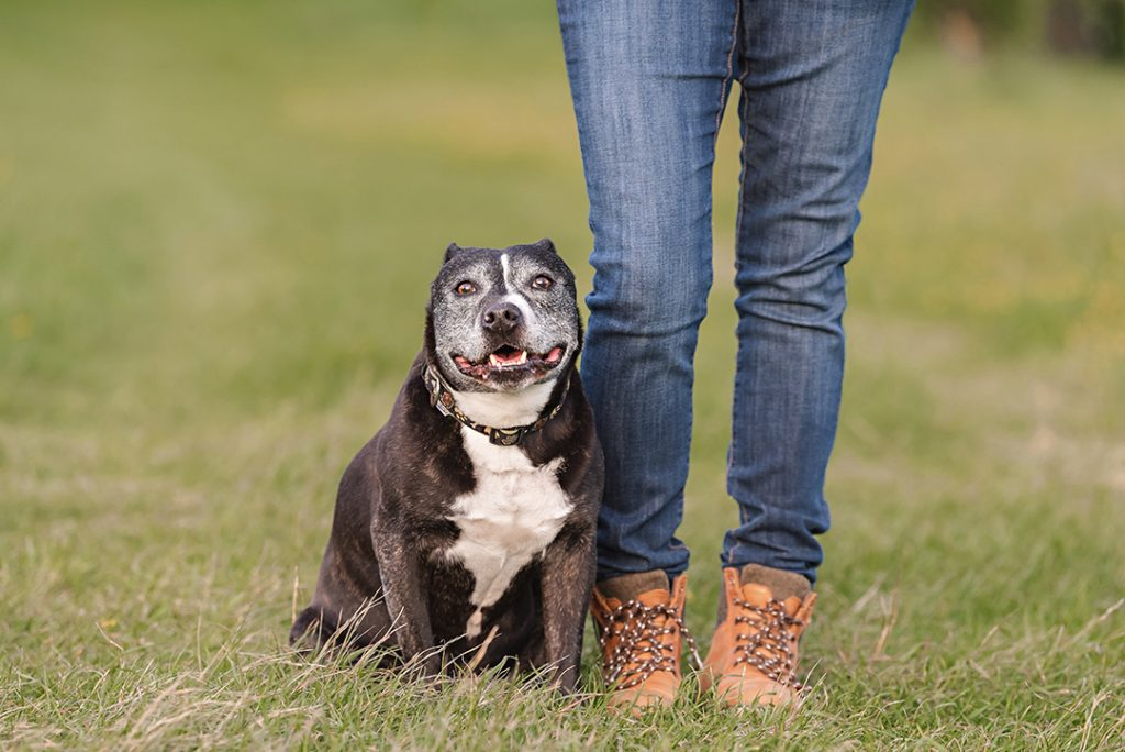 Staffie sits by owners feet in photo shoot