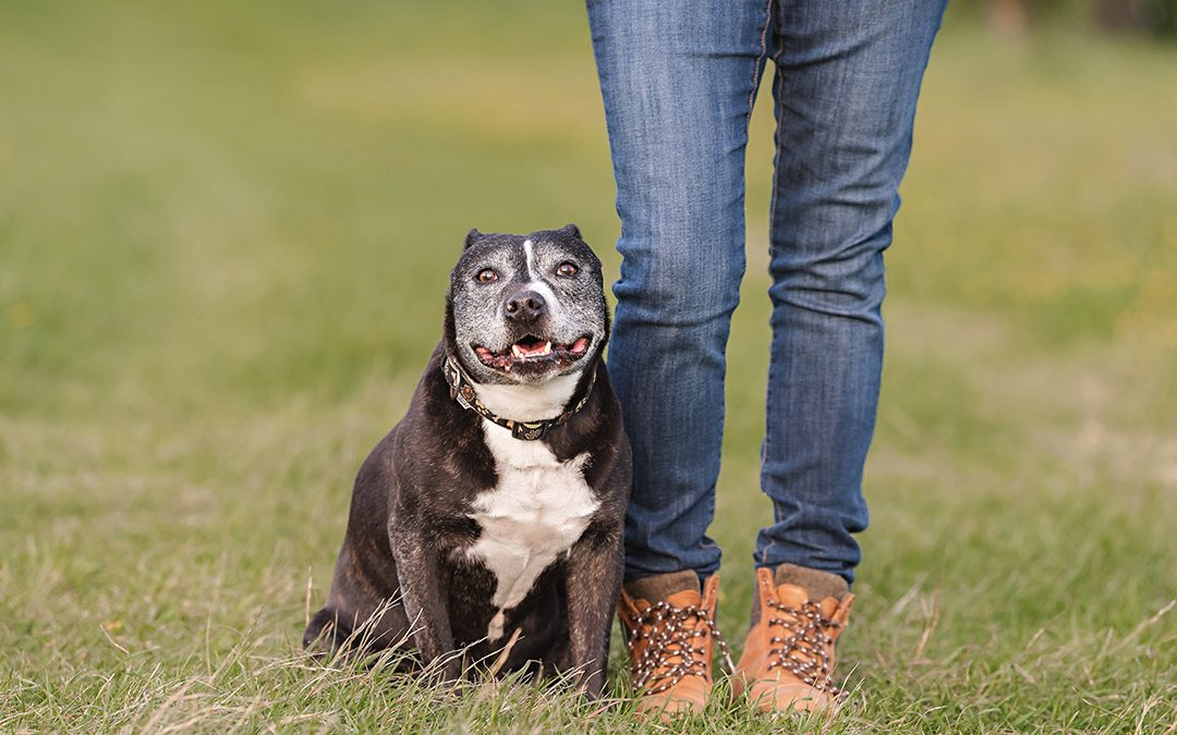 Pet Photography in Essex | Boss, the 12 Year Old Staffie
