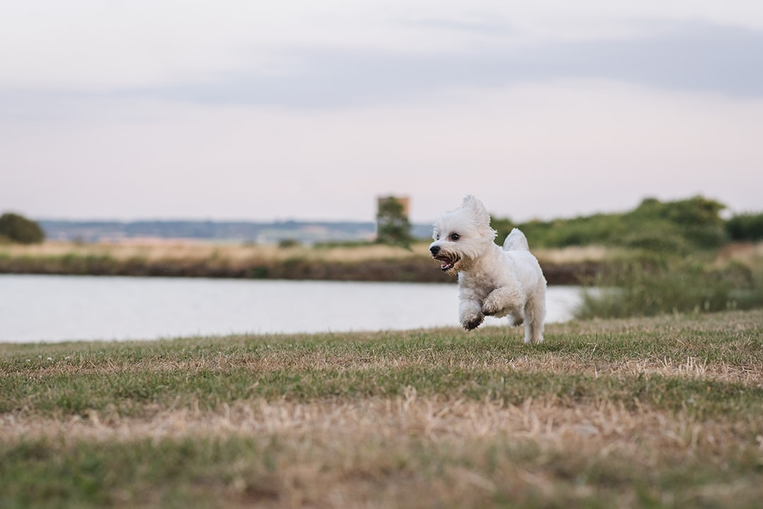 Essex pet photographer, dog runs towards camera by lake at Coalhouse Fort Essex