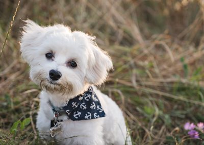 Portrait of a Maltese cross Puppy at Coalhouse Fort