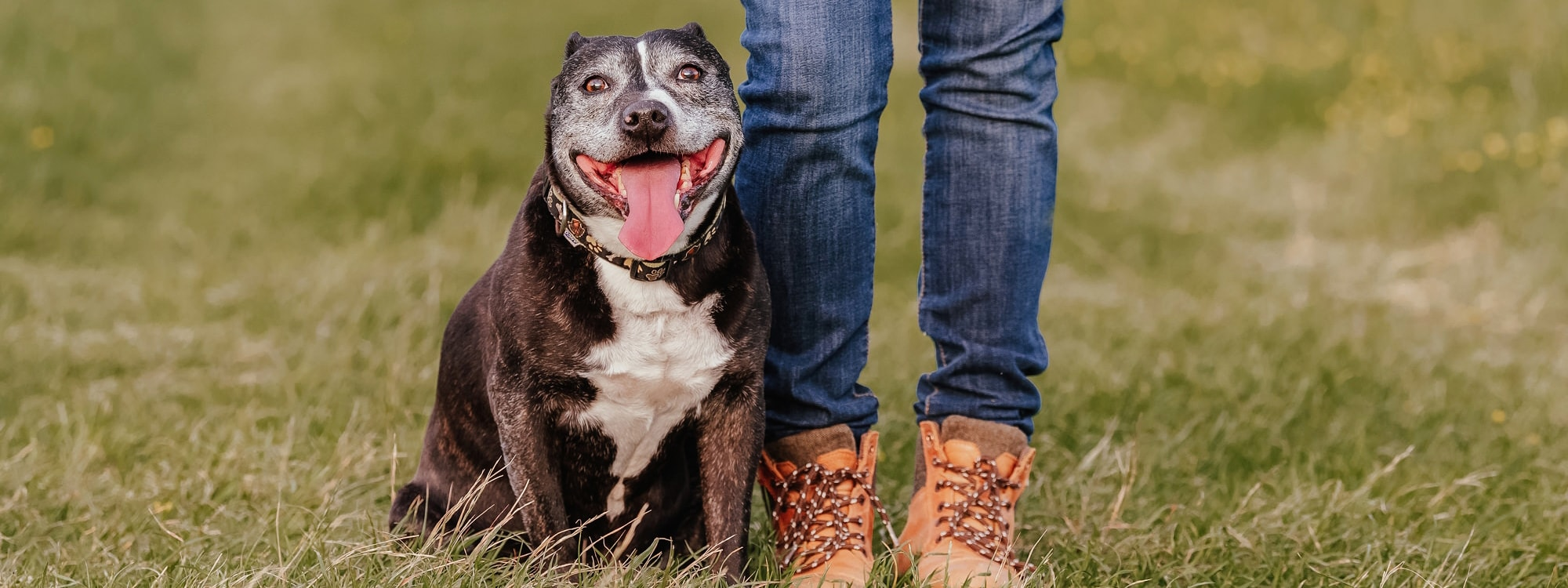 Owners legs as they stand with staffie dog photo shoot essex