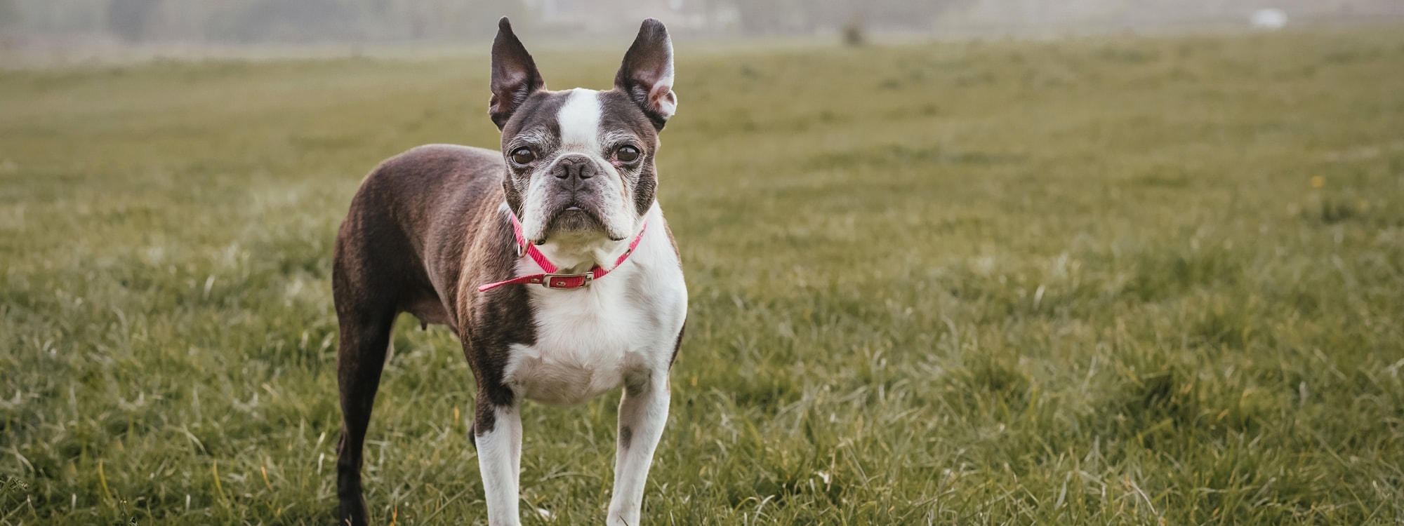 Dog standing looking straight into camera Pet Photography Essex