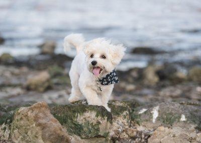 Dog Walks Along Rocks at the Waterfront